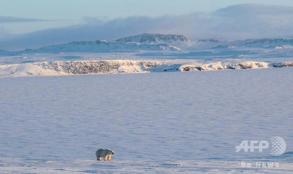 ロシアからホッキョクグマがいなくなる 政府の北極圏開発追い打ち