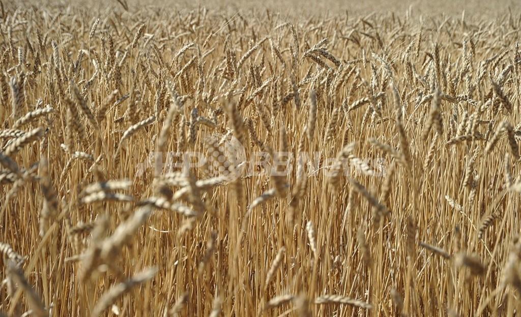 米国で遺伝子組み換え小麦が見つかる、日韓で輸入一部停止