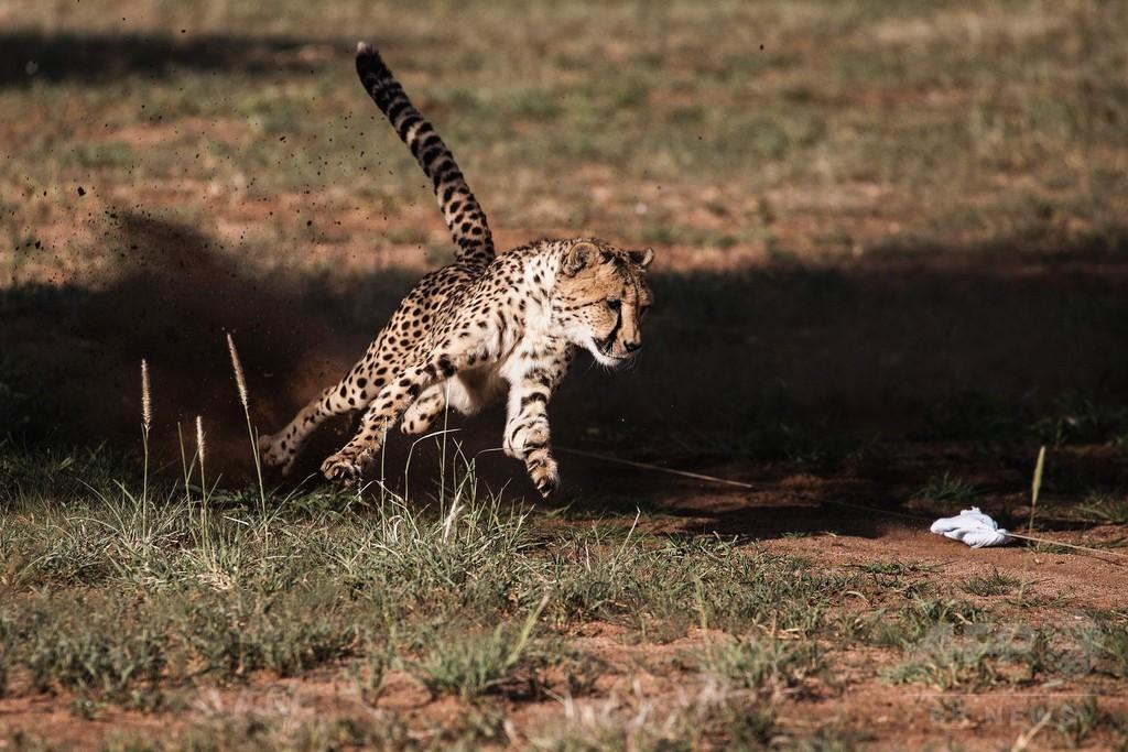 野生のチーター個体数が激減、絶滅の危機高まる 報告書