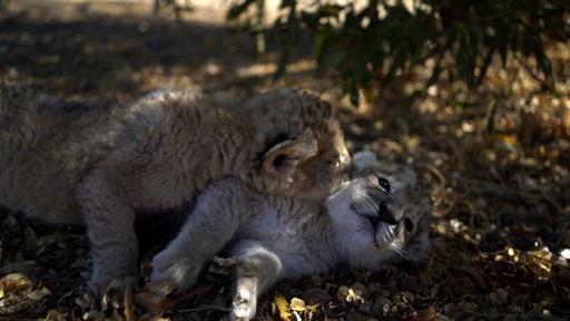 動画:人工授精でライオン誕生、世界初 南ア