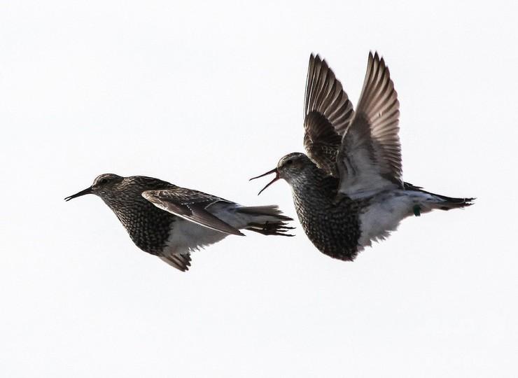 一雄多雌の野鳥、繁殖地を転々と移動 最大1万3000キロ 研究
