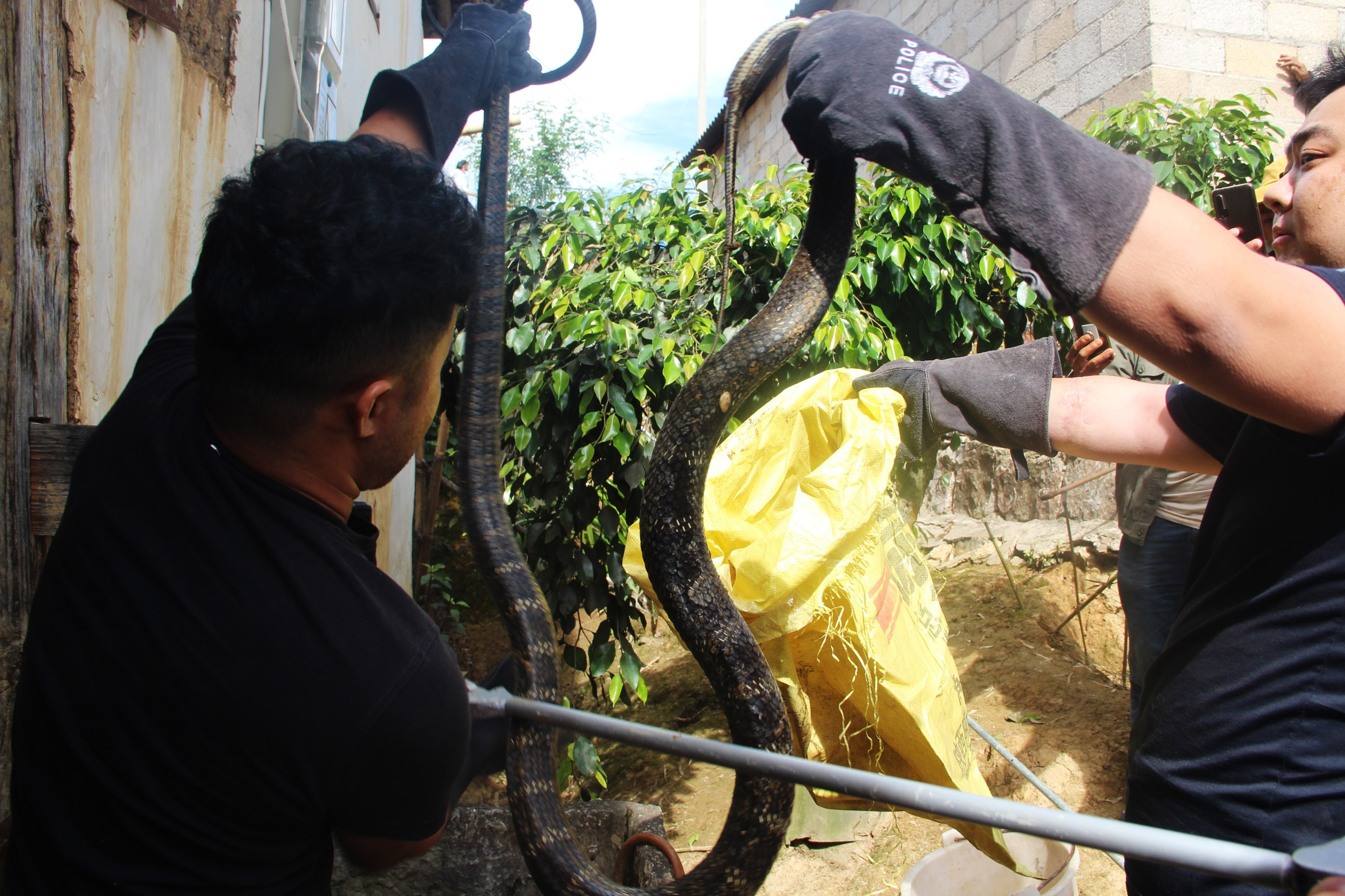 3メートル超のキングコブラが民家を「訪問」、警察が緊急出動