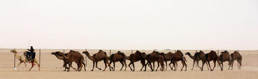 伝統の「美ラクダ」コンテスト、クウェート