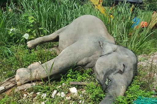 マレーシアでゾウ毒殺 3頭の死骸発見