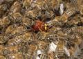 ミツバチ、必殺技「窒息スクラム」で天敵スズメバチを撃退