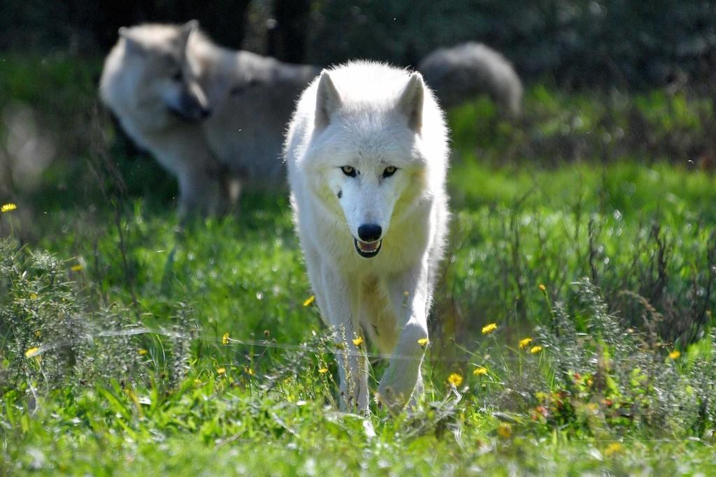 オオカミを引き付け人を遠ざける血液中の成分、研究で発見