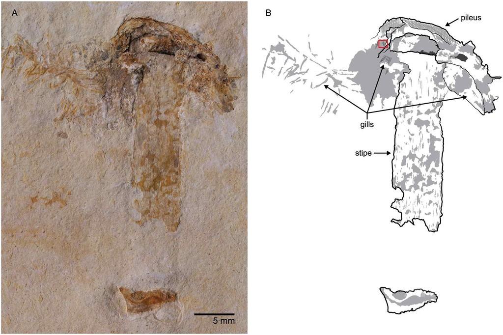 1億1500万年前のキノコの化石、ブラジルで発見