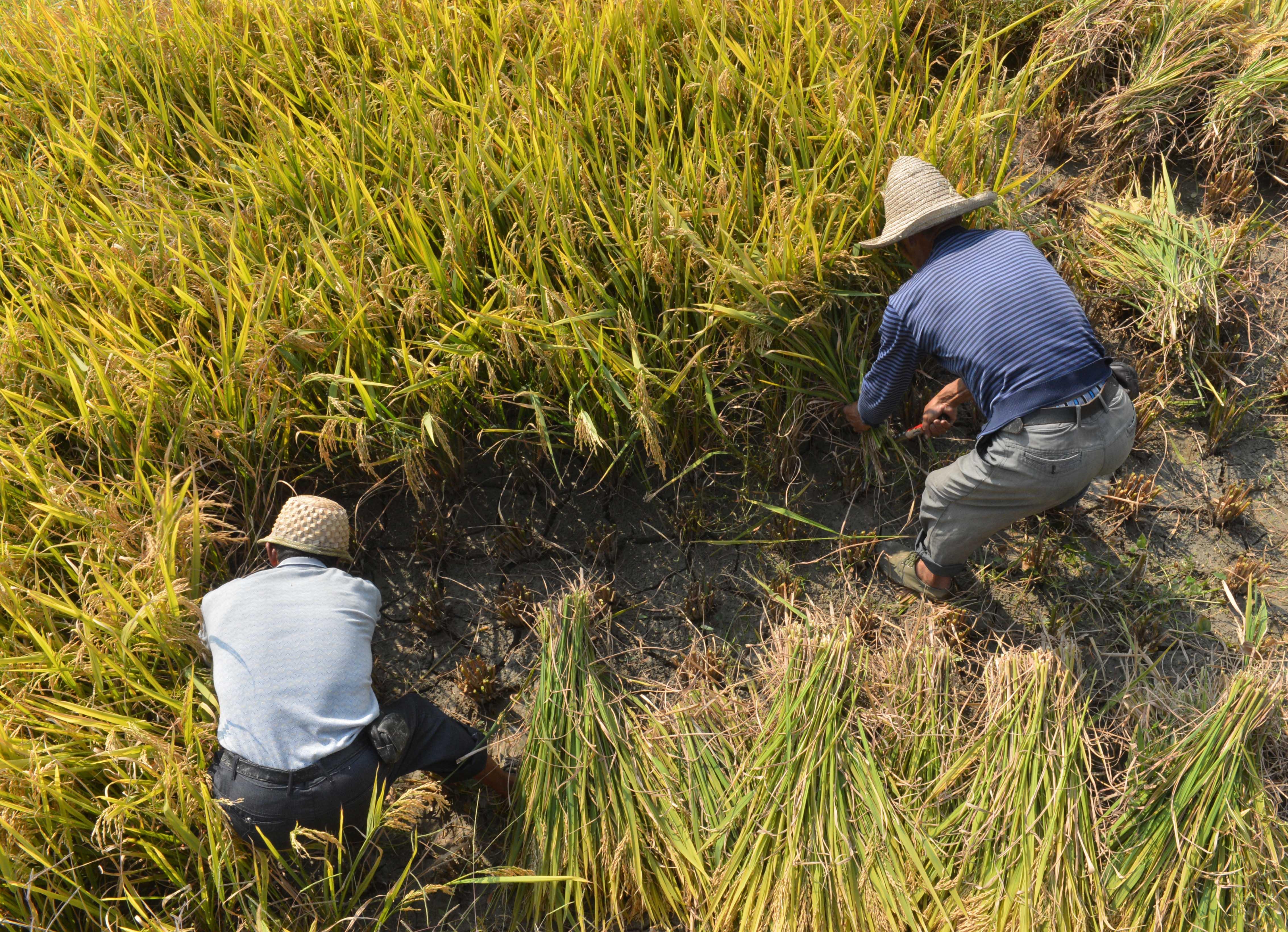 伝統的農法受け継ぎ手作業で稲刈り 湖南省紫鵲界棚田