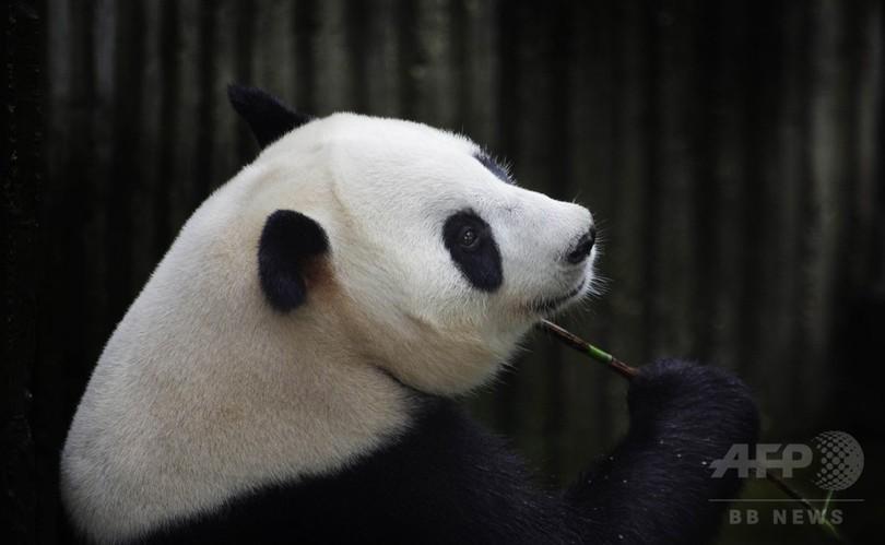 パンダのアイヒンは「偽妊娠」、出産生中継はおあずけ 中国