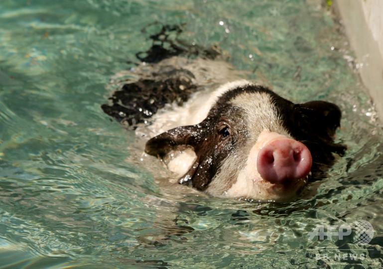 かわいい子豚の運動会 河北省張家口