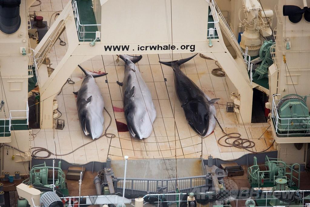 シー・シェパードが日本の捕鯨船団発見、4頭の死を確認と発表