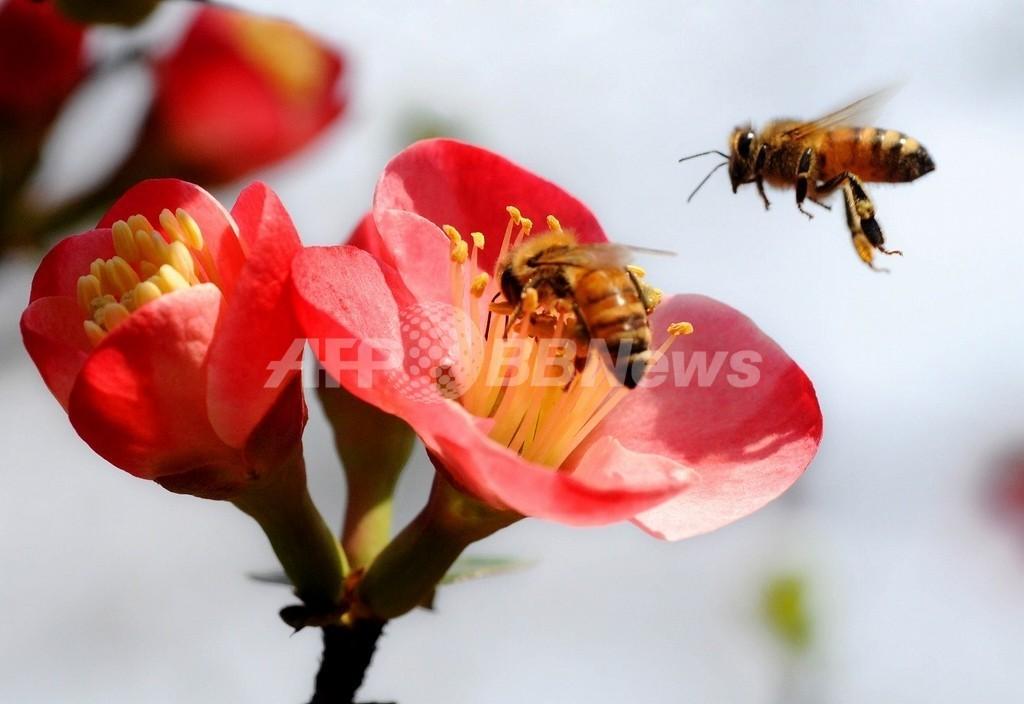 ミツバチ激減の英国、ICタグつけて農薬の影響を調査