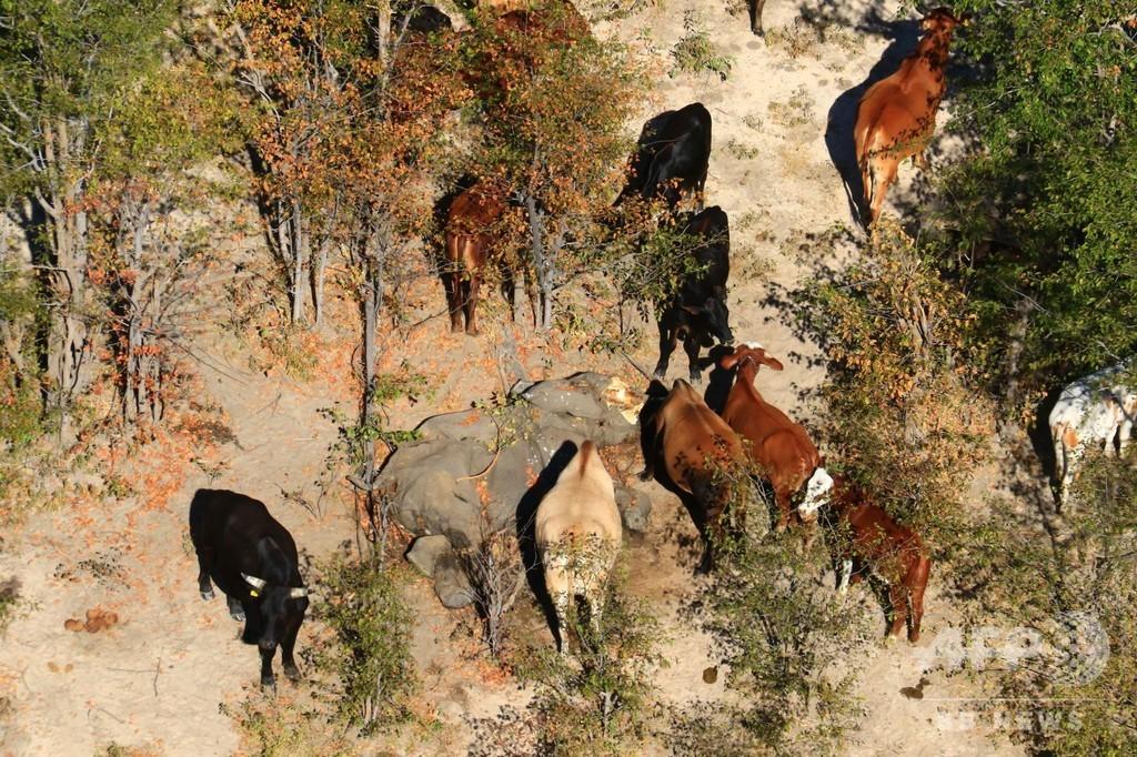 ボツワナのゾウ大量死、死因は自然発生の毒か 当局