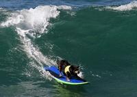 「波乗り犬」の熱い闘い、米カリフォルニアで犬のサーフィン大会