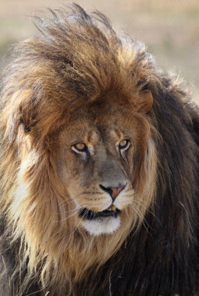 飼育員がライオンに襲われ死亡、米動物公園