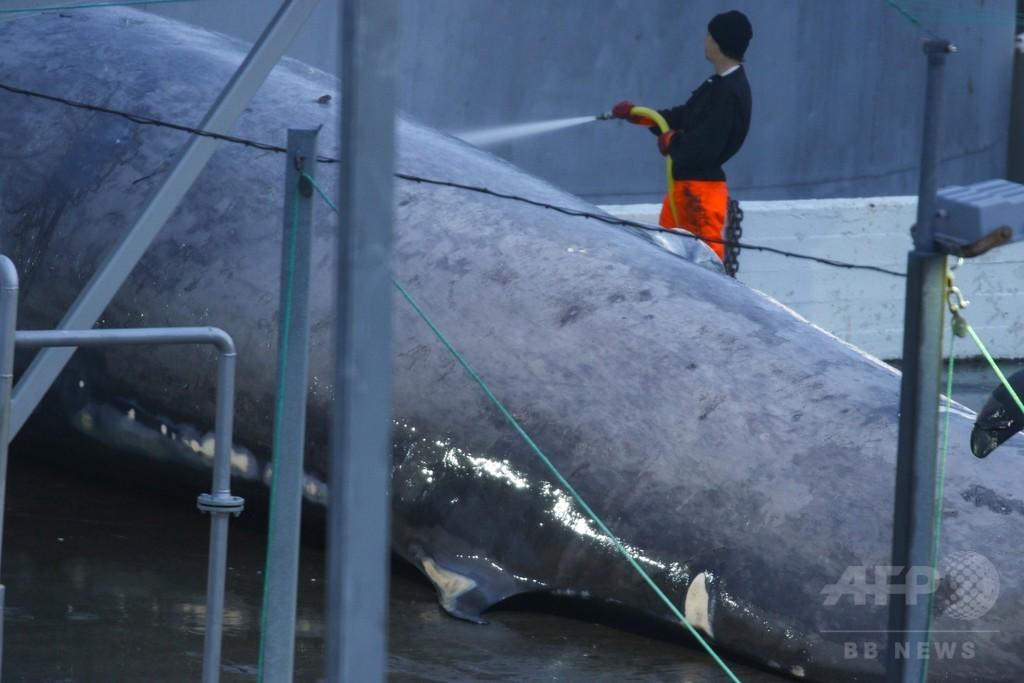 捕獲・解体したクジラはシロナガス? それともナガス? アイスランドで大論争