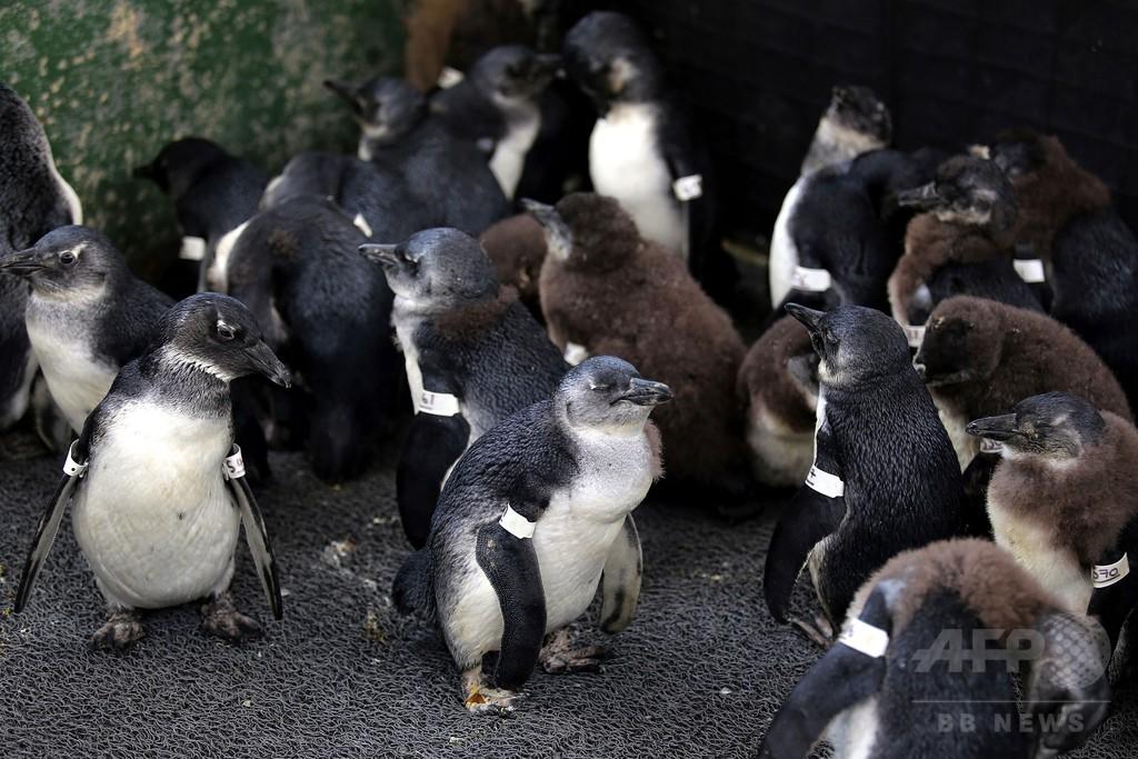アフリカペンギン、生態系の「わな」で餓死か