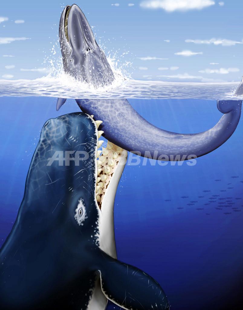 クジラもぺろり、古代の巨大マッコウクジラは「海の殺し屋」