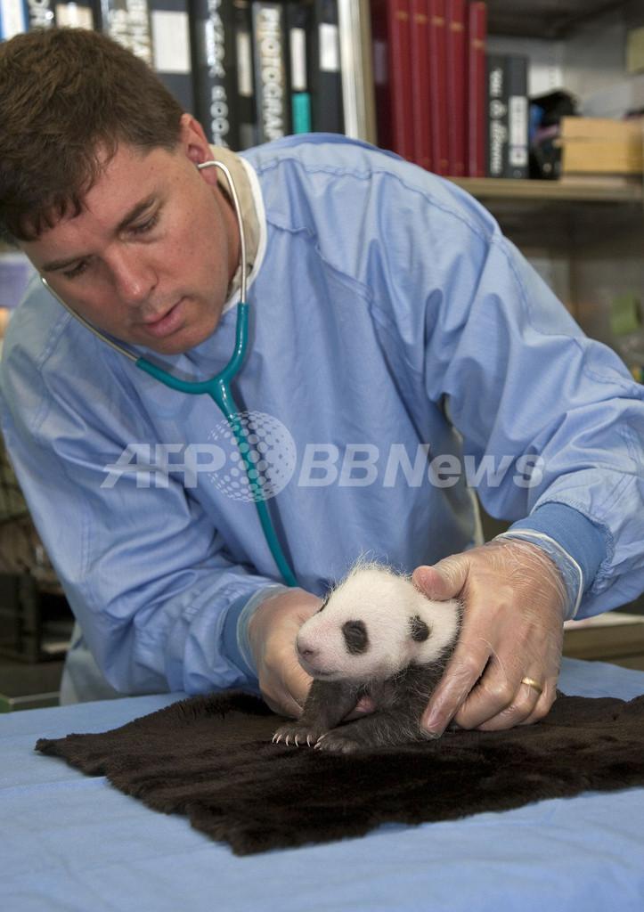 小さいけれどもう白黒、生後1か月のパンダの赤ちゃん初検診