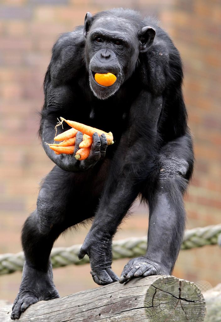 チンパンジーの暴力性は「生まれつき」、従来説を否定 研究