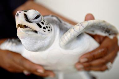 世界最大のオサガメ、絶滅危機 ...