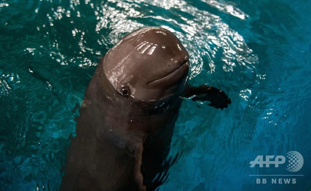 絶滅危惧種の小型イルカ「ほほ笑む天使スナメリ」、中国で保護の取り組み
