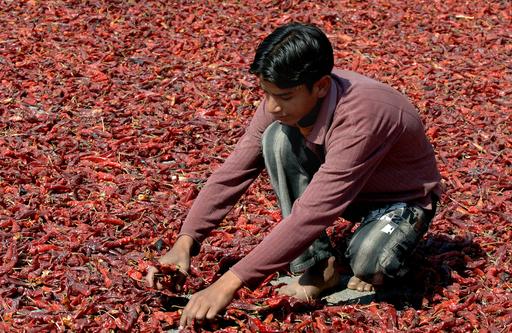 カシミールで深紅のトウガラシの乾燥