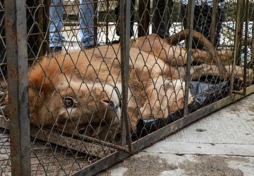 当局に没収され衰弱したライオン、10か月ぶり「母」の元へ帰還