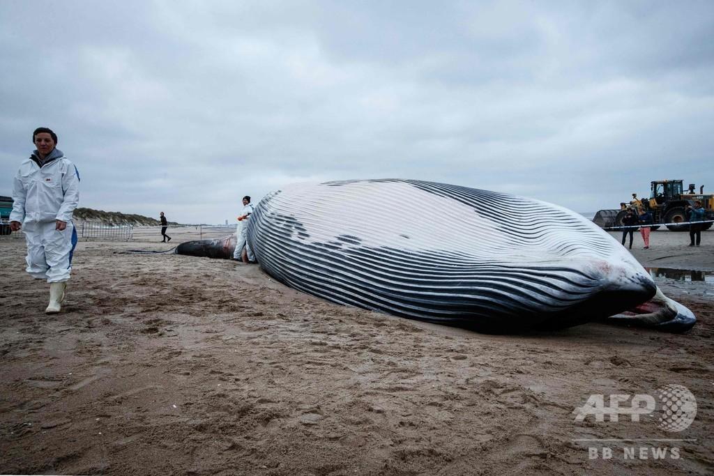 18メートルのナガスクジラの死骸漂着、21年ぶり ベルギー