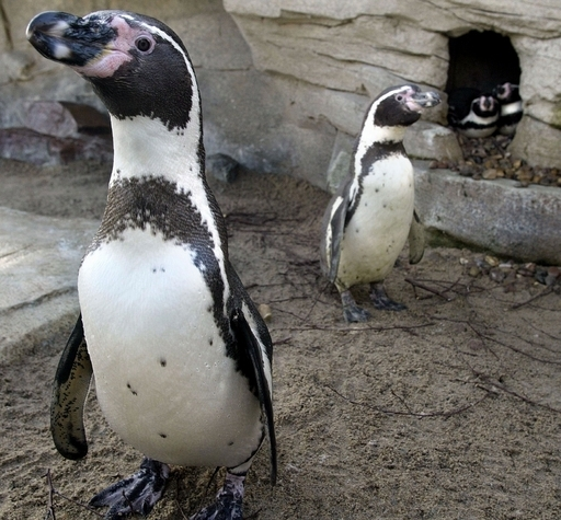 米サンフランシスコ動物園の同性愛ペンギンカップルが破局