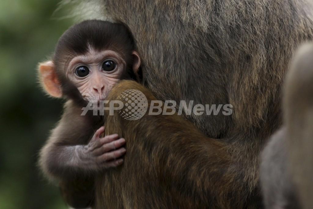 世界初、「キメラ」サルの作製に成功 米研究