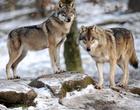 オオカミ間でも「あくび」は伝染する、東大研究チーム