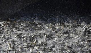 イルカの耳をつんざく「求愛音」、魚の集団繁殖行動 メキシコ