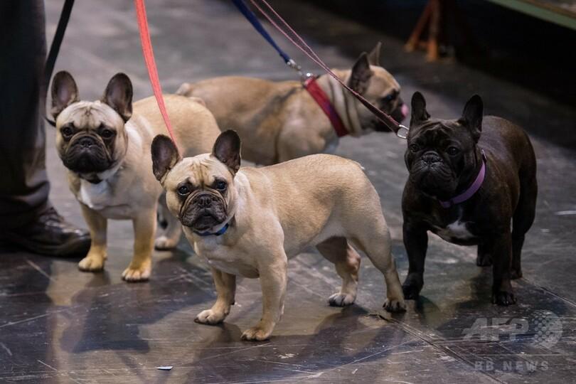 人気上昇のフレンチブルドッグ、かわいさゆえに動物福祉面でリスク 研究