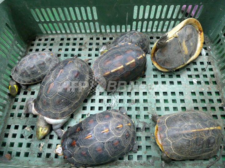 希少種のカメ、食べられる直前に保護 台湾