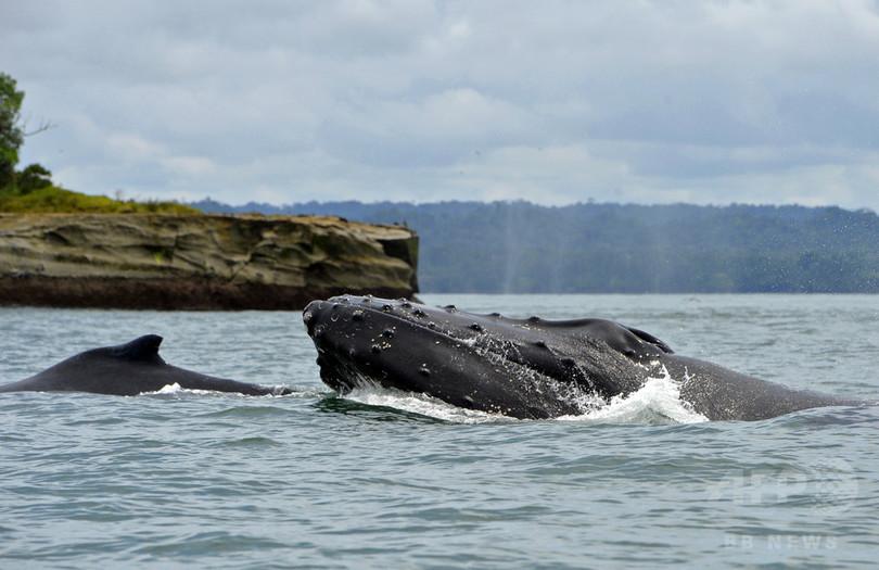 赤ちゃんザトウクジラ、シャチに気付かれないよう親とは小声 研究