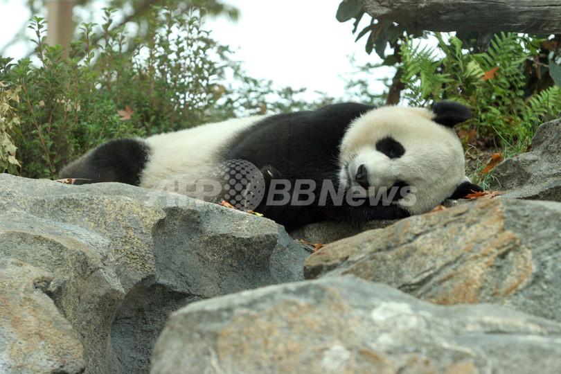米動物園で急死の赤ちゃんパンダ、死因は肝臓疾患