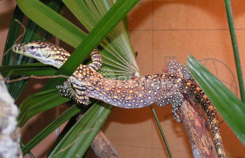 コモドオオトカゲの繁殖に成功、シンガポール動物園