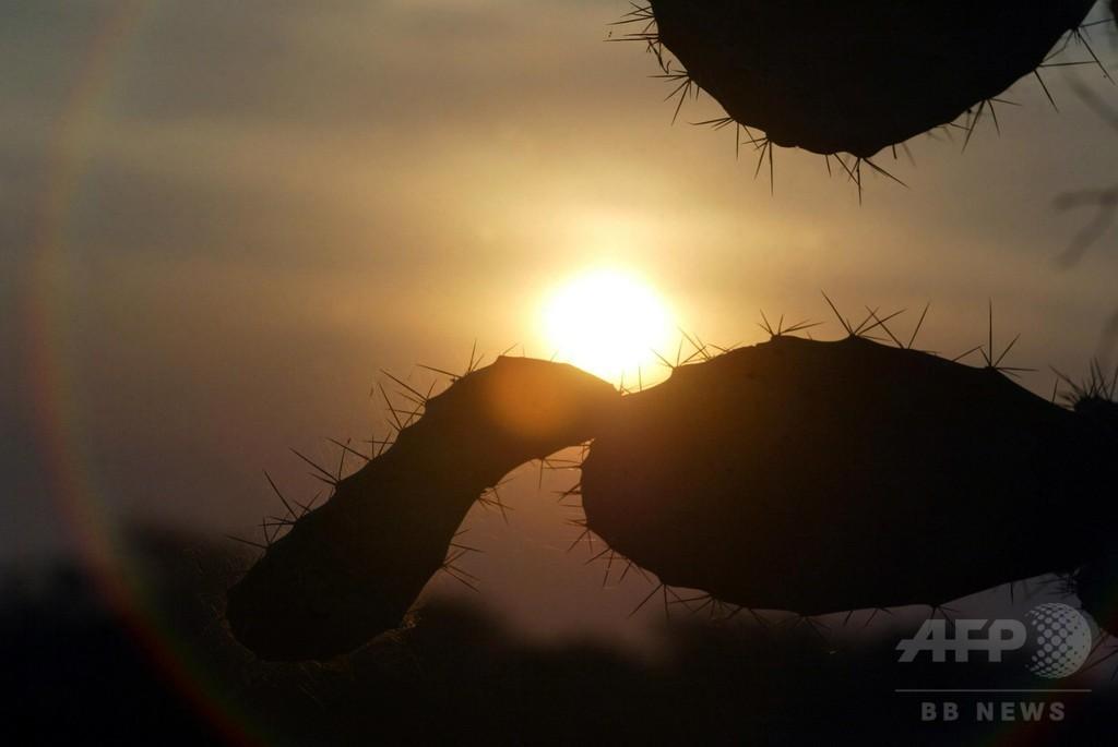 世界のサボテン、約3割に絶滅の危機 研究