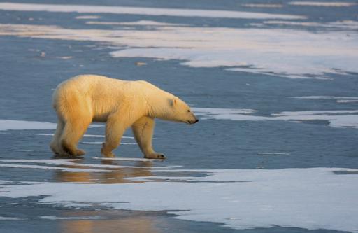 ホッキョクグマ、60万年かけて北極に適応していた 遺伝子解析で判明
