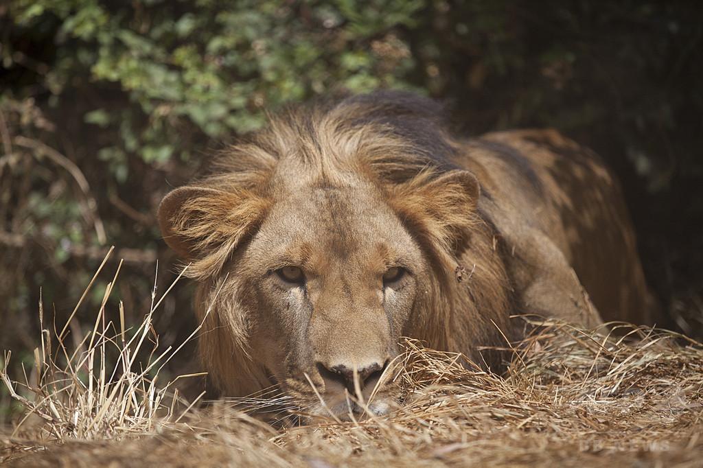 エチオピアで新たなライオン個体群確認、保護活動に朗報