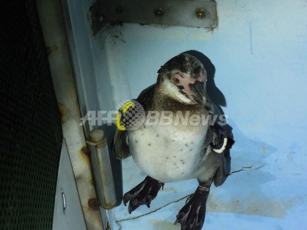 東京の脱走ペンギン、愛称は「さざなみ」に決定