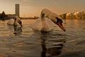 ベルリン・シュプレー川の2羽の白鳥