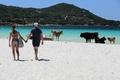 野生の牛の群れがビーチを占拠!? 仏コルシカ島、夏の風物詩