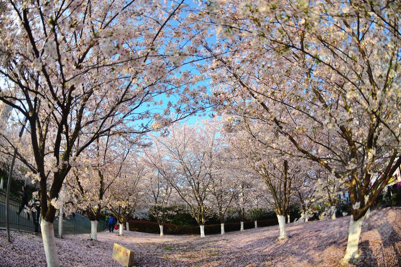 上海でも桜満開 中日桜花園