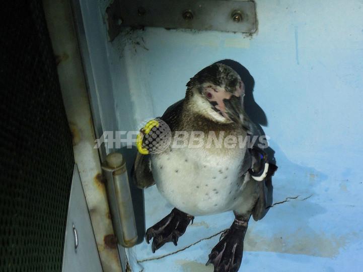脱走ペンギンを捕獲、健康に問題なし 葛西臨海水族園