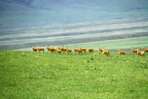 祁連山の草原に夏来る、モウコガゼルの群れも 甘粛・張掖