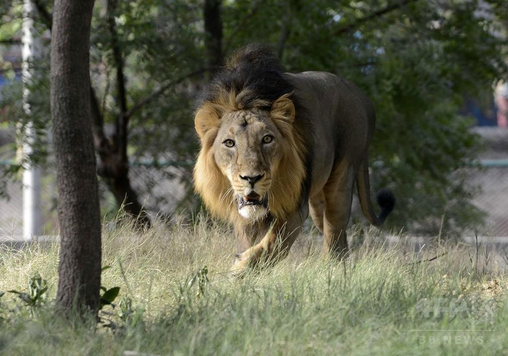 絶滅危惧されたインドライオン、生息数600頭超に 減少に歯止め