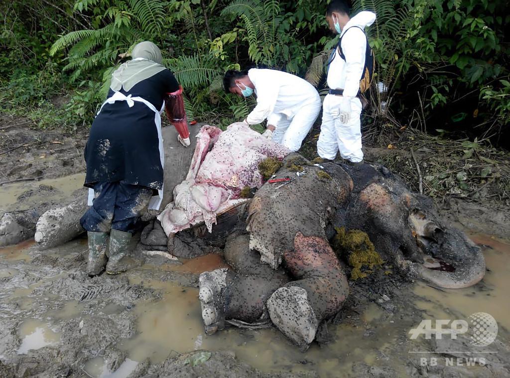 牙を取られたゾウの死骸発見、密猟か インドネシア
