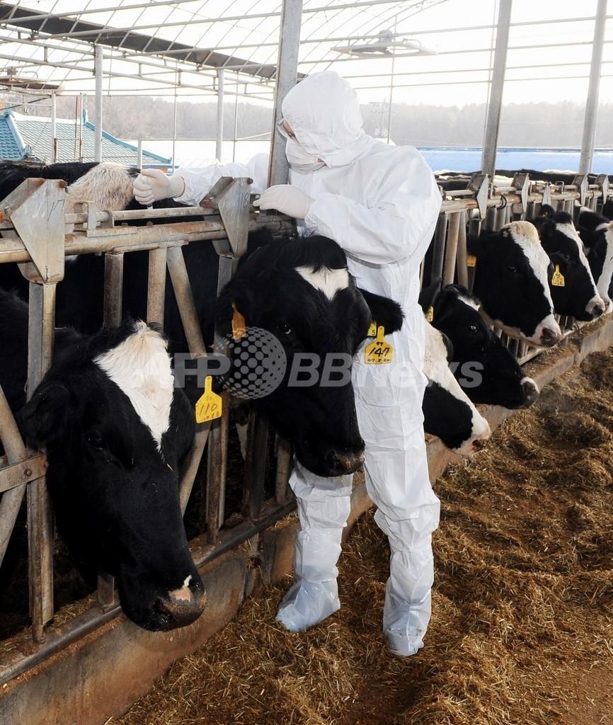 口蹄疫拡大の韓国、家畜大量殺処分の担当者に精神的ケア